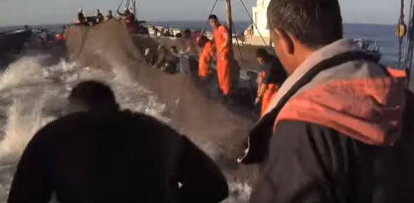 Atún rojo de almadraba, por una pesca sostenible
