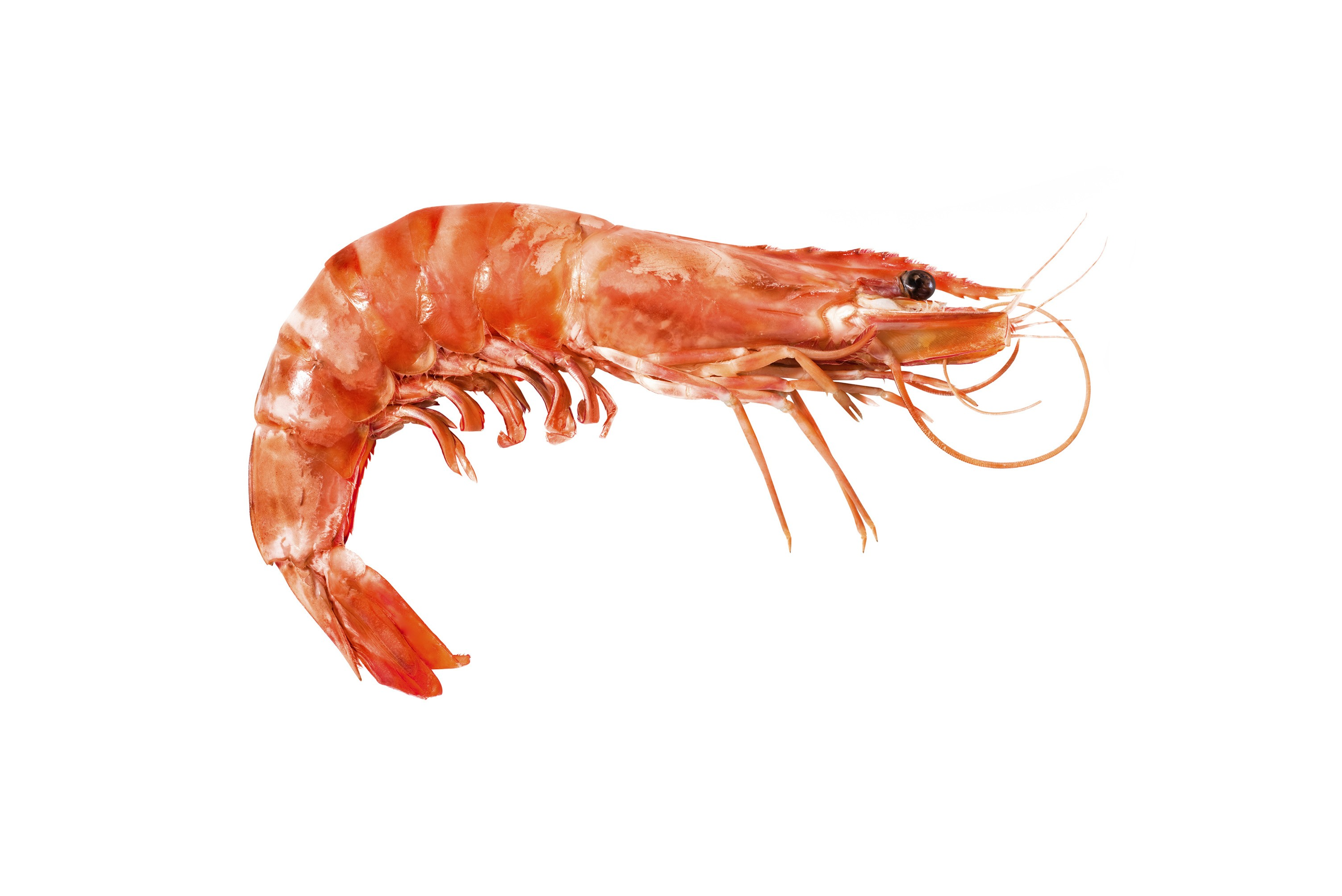Related Keywords & Suggestions for langostino